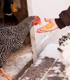 Как правильно организовать кормление кур-несушек, чтобы получить хороший результат?