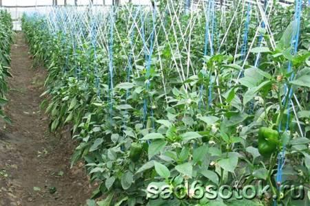 Посадка и выращивание болгарского перца в теплице и поликарбоната