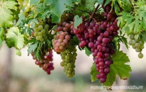Виноград кишмиш лучистый: описание сорта, правила ухода и разведения