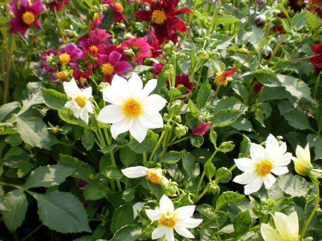 Яркие георгины веселые ребята: фото и советы по выращиванию цветов в саду