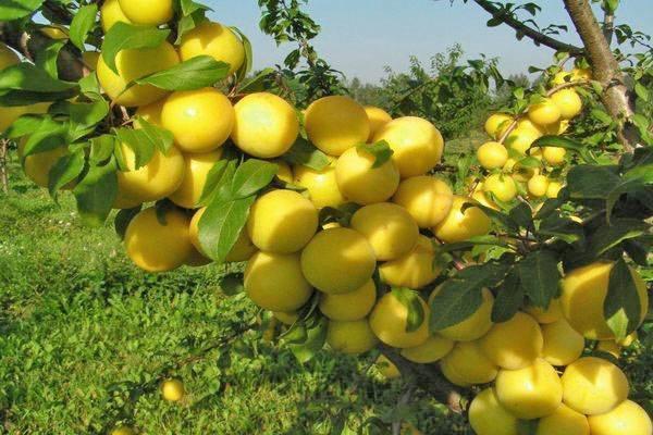 Алыча павловская желтая — описание сорта, фото и отзывы садоводов