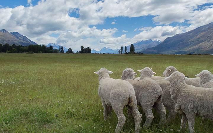 Овцеводство австралии и новой зеландии