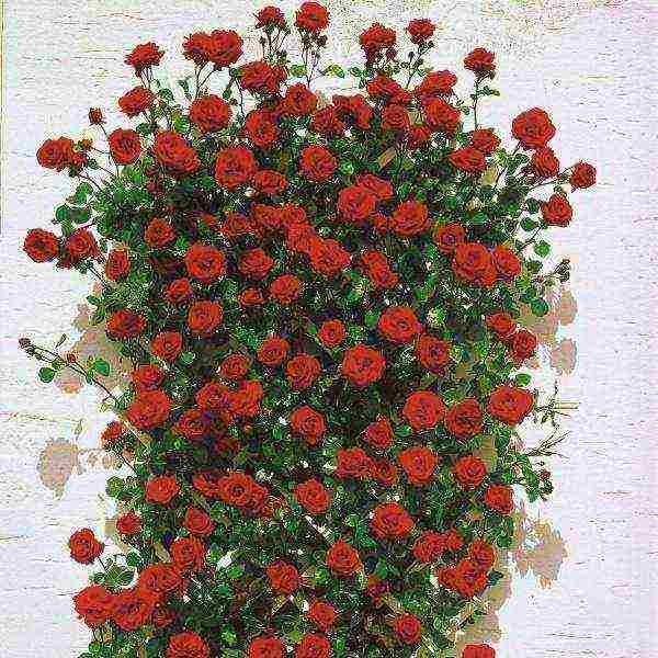 Энциклопедия садовода: описание и выращивание плетистой розы сантана