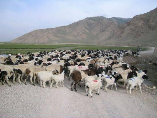 Эдильбаевская порода овец: описание, особенности содержания и разведения