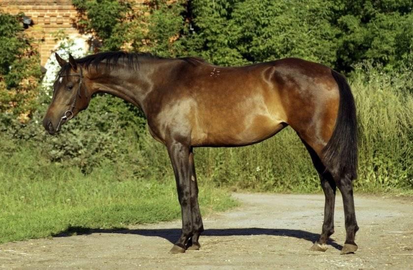 Описание и характеристики донской породы лошадей, особенности содержания