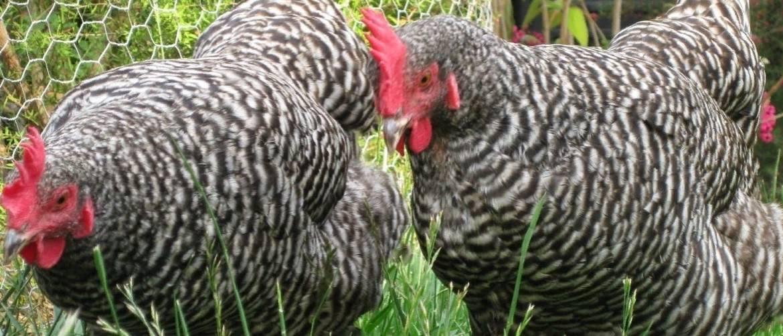 Виандот порода кур – описание, фото и видео