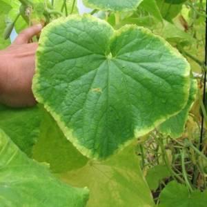 Листья у огурцов светло зеленые — чем подкормить?