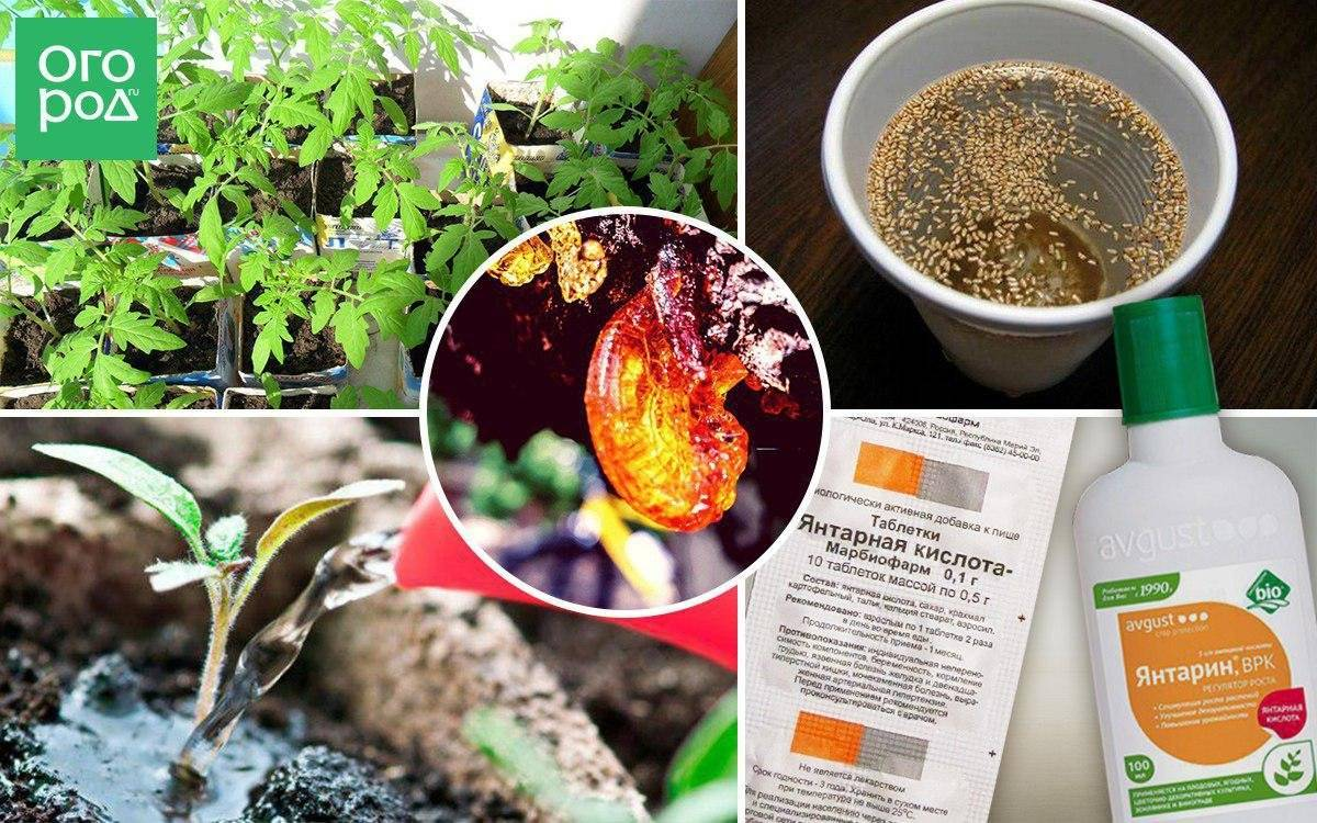 Полив рассады янтарной кислотой для здоровья и быстрого роста