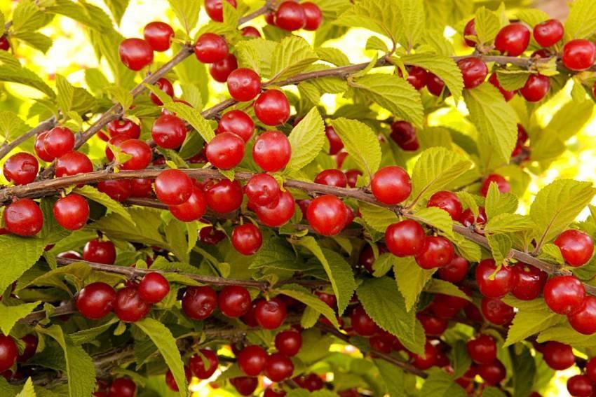 Приспособления для сбора вишни и черешни: особенности и советы по использованию