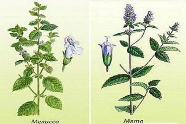 Мята и мелисса: в чем разница и отличия, что полезнее с фото