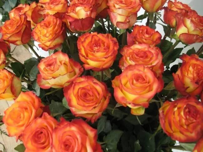 Описание розы сорта Чиппендейл, посадка и уход, борьба с болезнями