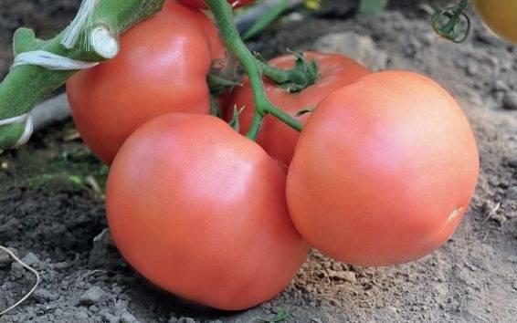Мечта любого огородника — томат «тамара»: описание сорта и рекомендации по уходу