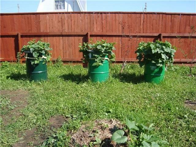 Как вырастить огурцы в бочке на даче — секреты опытных садоводов