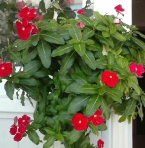 Разновидности и фото ампельного катарантуса. как правильно ухаживать за цветком?