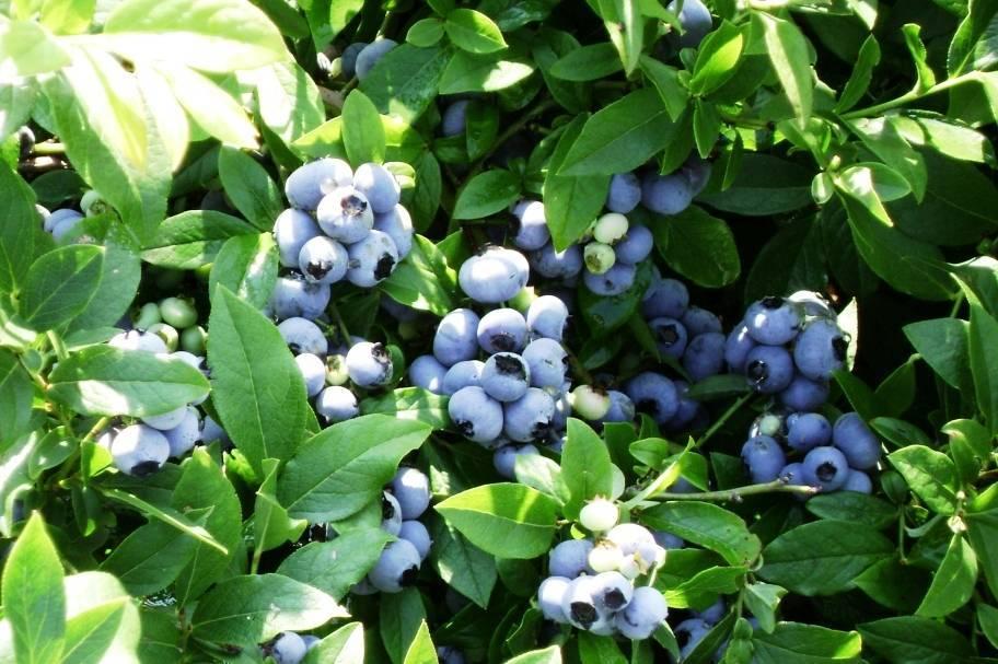 Голубика блюкроп: описание ягодного сорта и правила выращивания и ухода