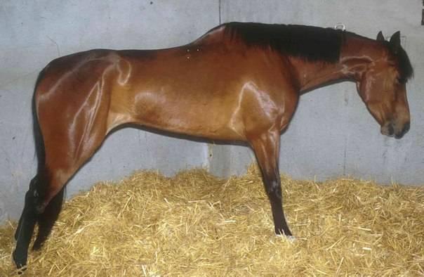 Симптомы и методы лечения колик у лошади, что делать для первой помощи