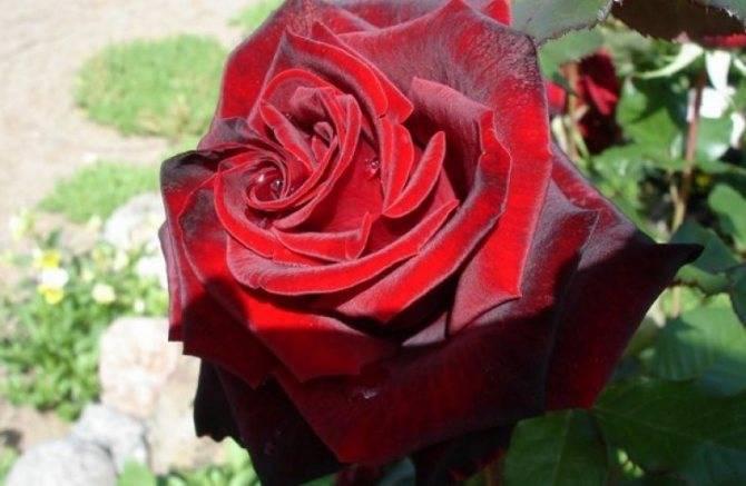 Чёрная магия — популярный сорт чайно-гибридной розы