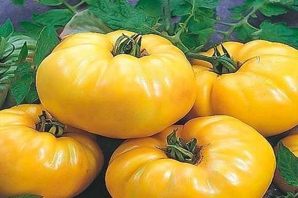 Сорт томата «желтый шар»: описание, характеристика, посев на рассаду, подкормка, урожайность, фото, видео и самые распространенные болезни томатов