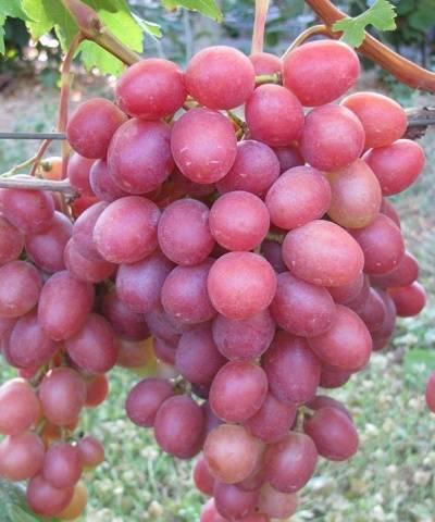 Описание сорта винограда анюта