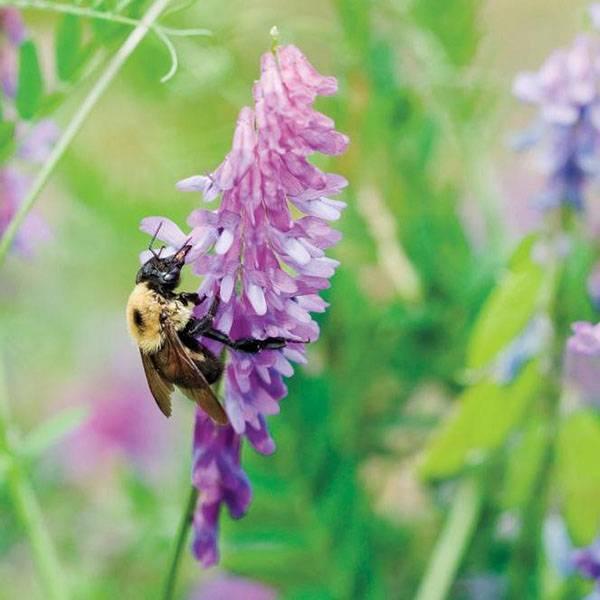 Свойства и использование. описание растения вика посевная яровая, как используют и особенности посадки
