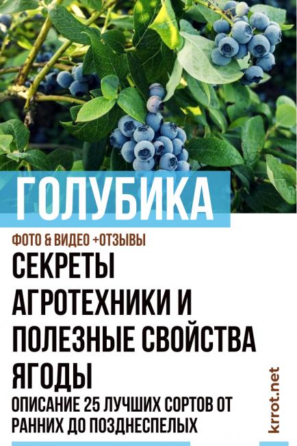 Голубика садовая – основы посадки, ухода и размножения