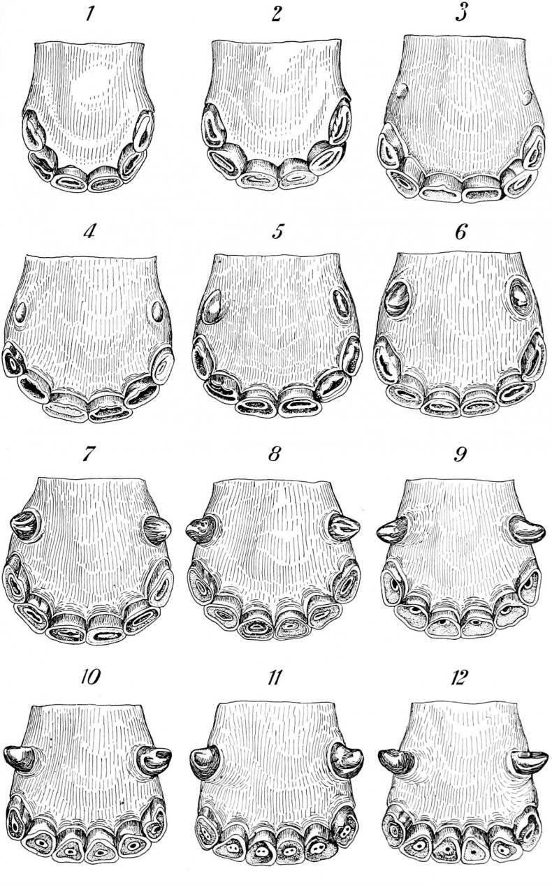 Сколько зубов у лошади: аномалии и пороки, профилактика болезней