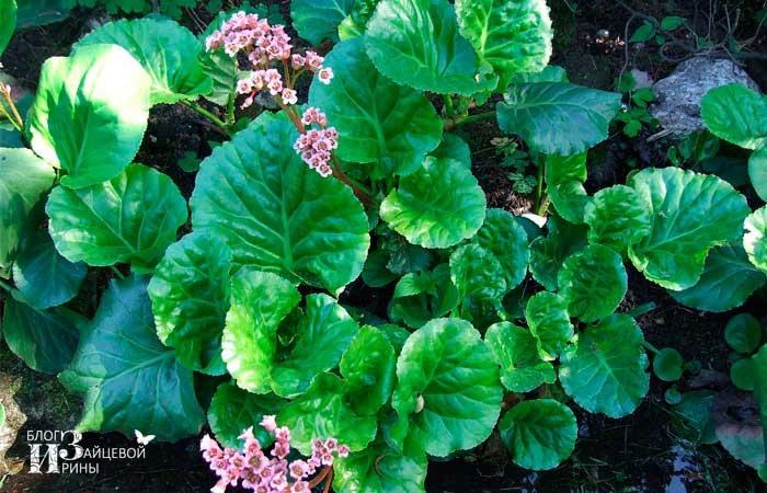 Листья бадана лечебные свойства и противопоказания