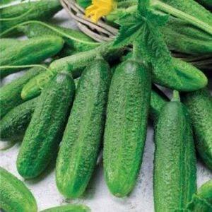 Огурец герман — ультраскороспелый овощ!
