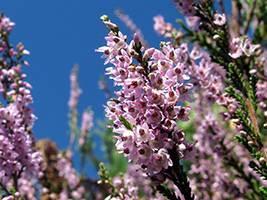 Вереск обыкновенный: лечебные свойства и противопоказания