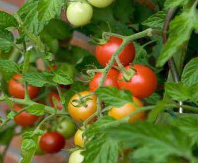 Томат золотая андромеда: 7 особенностей и 12 советов по выращиванию и уходу