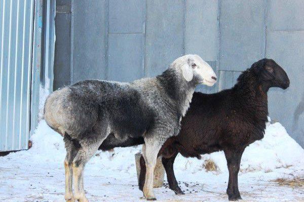 Молочные овцы породы и полезные сведения о нюансах разведения
