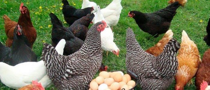 Особенности разведения мясо-яичных пород куриц в домашних условиях: описание лучших видов птиц