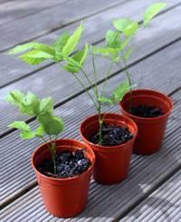 Уход за глицинией, её выращивание в горшке и открытом грунте