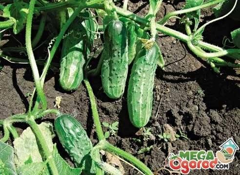 """Самое полное описание урожайного гибрида огурцов """"зятек"""""""