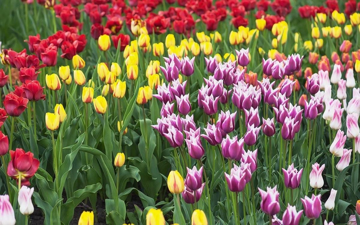Обзор ранних и поздних махровых пионовидных тюльпанов