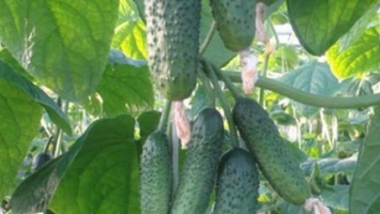 Сорт огурца эколь: выращивание, посадка и уход, фото