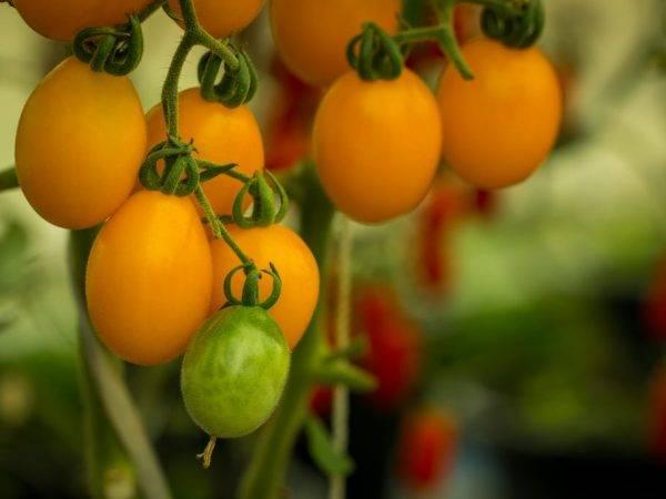 Томат медовые росы: характеристика и описание сорта с фото