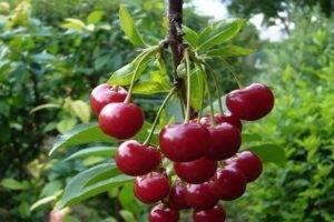Лучшие самоплодные сорта вишни с описанием и фото