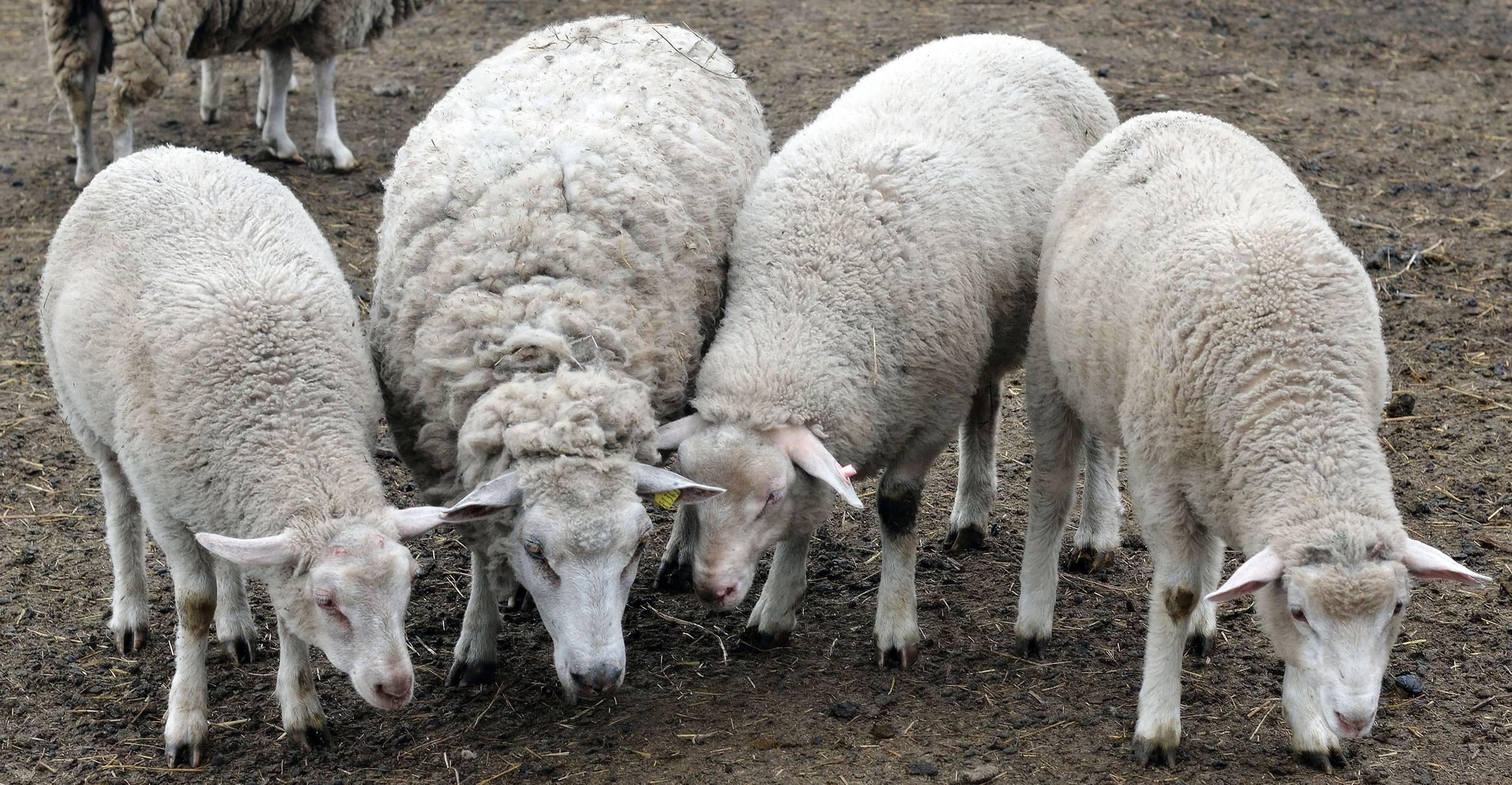Ташлинские овцы