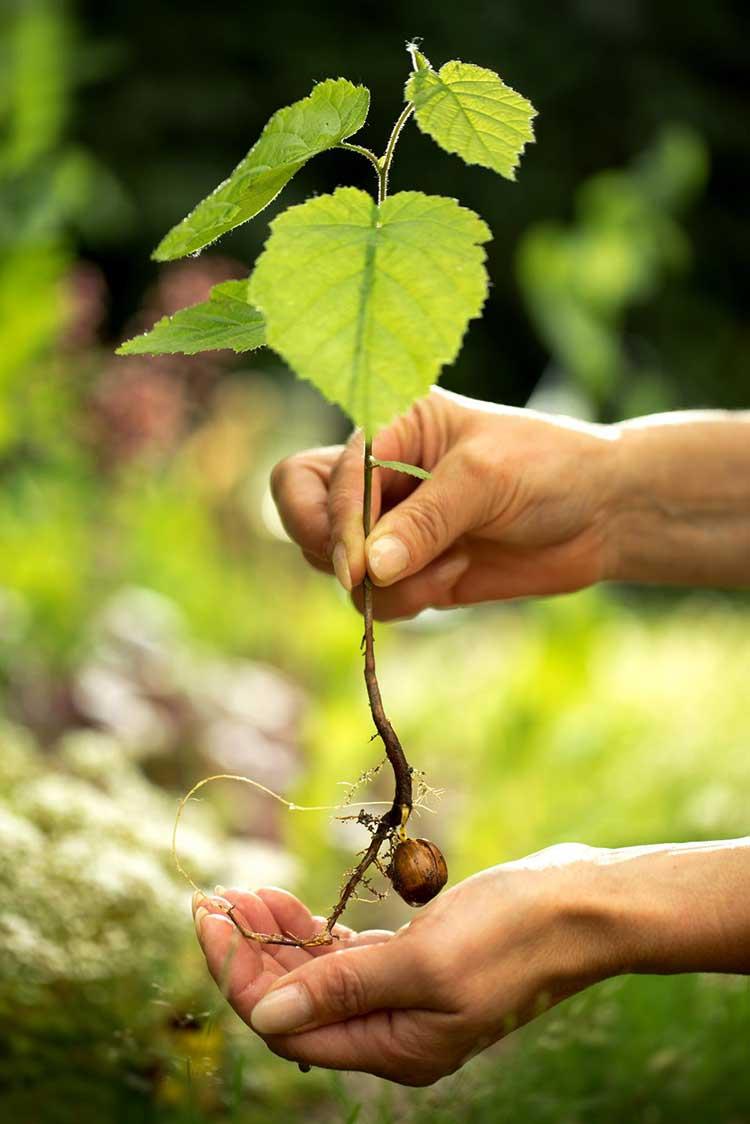 Секреты успешного выращивания лещины краснолистной. использование кустарника в ландшафтном дизайне