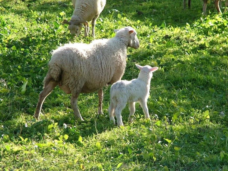 Причины ценуроза у овец, первая симптоматика, правила лечения и профилактики