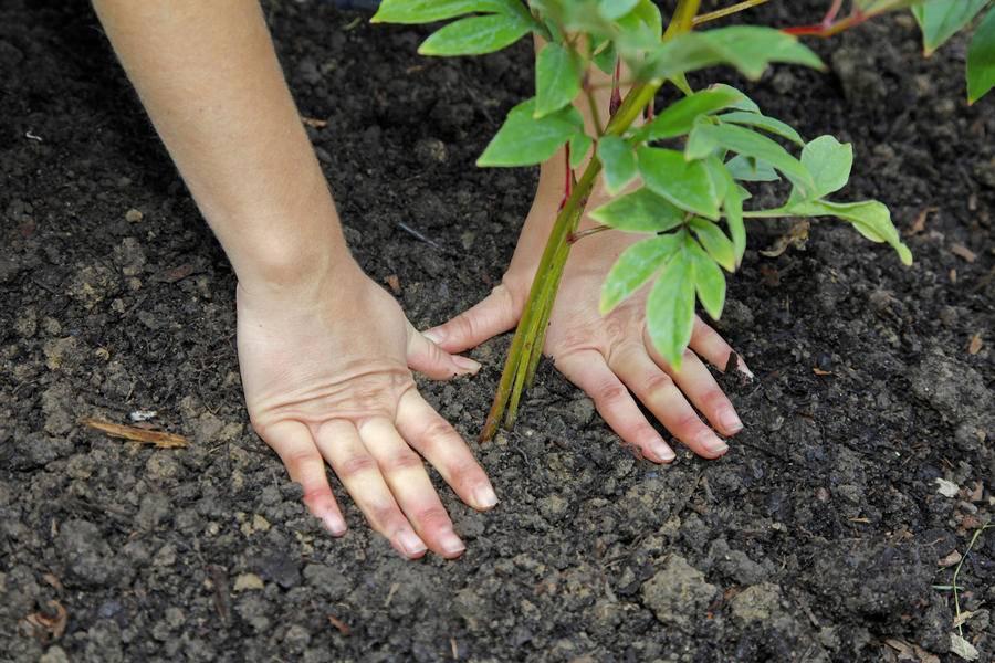 Пион травянистый: описание и секреты выращивания