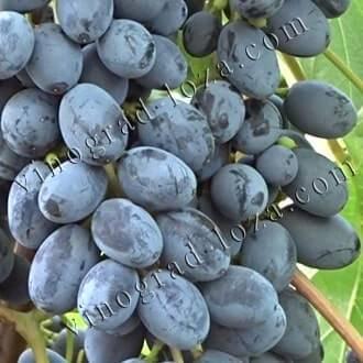 Подробное описание сорта винограда юпитер