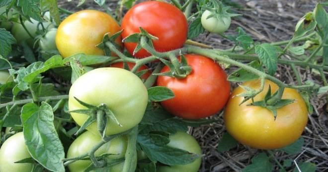 Характеристика и описание сорта томата Санька, его урожайность и выращивание