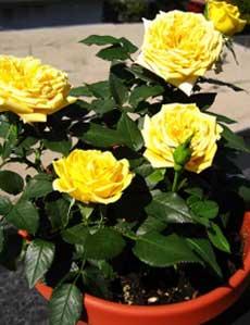 Миниатюрные розы: уход дома и в саду