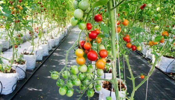 Как вырастить томаты на гидропонике в домашних условиях