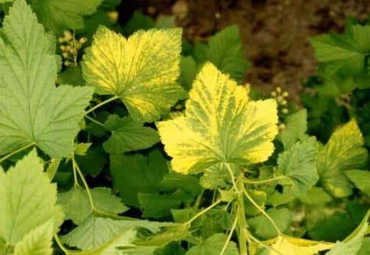 Почему листья черной и красной смородины желтеют и что с этим делать