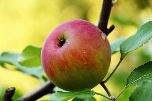 Яблоня мечта: особенности сорта и ухода