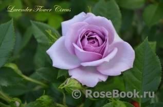 Роза циркус (circus) — характеристики сортового растения