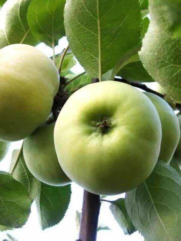 Яблоня свежесть: особенности сорта и ухода